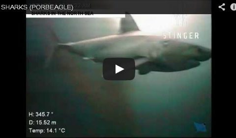 Sharks in the North Sea